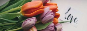 Pictures of Purple and Red Tulips